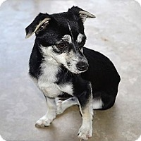 Rat Terrier Mix Dog for adoption in Tavares, Florida - Romi