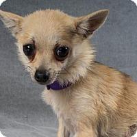 Chihuahua/Pomeranian Mix Dog for adoption in Colorado Springs, Colorado - Rosalind