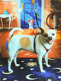 Chihuahua/Pug Mix Dog for adoption in Elizabethtown, Pennsylvania - Tidbit