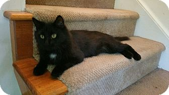Domestic Mediumhair Cat for adoption in Winterville, North Carolina - SEBASTIAN