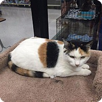 Domestic Shorthair Cat for adoption in Fenton, Missouri - Pancake