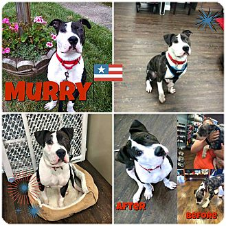 Pit Bull Terrier Mix Dog for adoption in Colmar, Pennsylvania - Murrica aka Murry