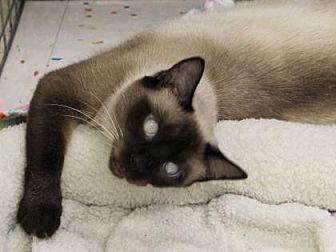 Siamese Cat for adoption in Encinitas, California - Katrina