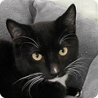 Domestic Shorthair Cat for adoption in Redondo Beach, California - Cooper
