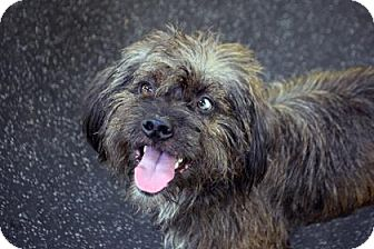 Wirehaired Pointing Griffon Mix Dog for adoption in Bradenton, Florida - Draco