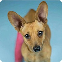 Dachshund/Chihuahua Mix Dog for adoption in Roanoke, Virginia - Tibby-currently in foster