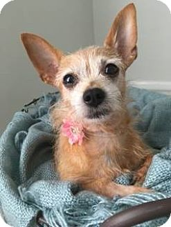 Chihuahua/Terrier (Unknown Type, Small) Mix Dog for adoption in Summerville, South Carolina - Little Girl