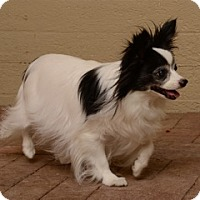 Papillon Dog for adoption in Grafton, New Hampshire - Lucy (in New Hampshire