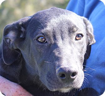 Labrador Retriever/Plott Hound Mix Puppy for adoption in Colonial Heights, Virginia - Aladdin