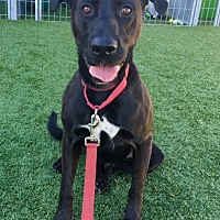 Labrador Retriever Mix Dog for adoption in Santa Monica, California - Dennis
