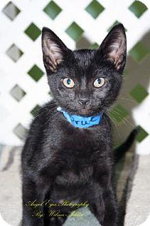 Domestic Shorthair Kitten for adoption in Norman, Oklahoma - Prue