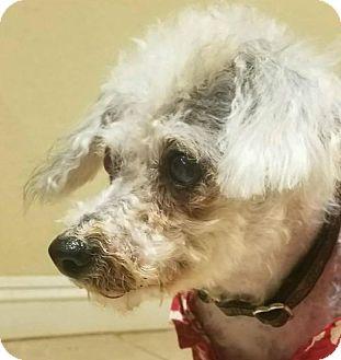 Miniature Poodle Mix Dog for adoption in Phoenix, Arizona - Harrison