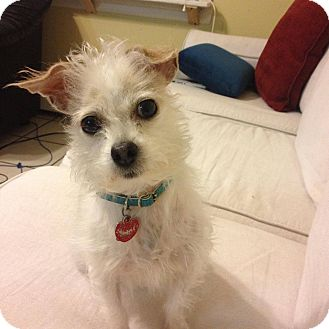 Jack Russell Terrier/Chihuahua Mix Dog for adoption in Maybrook, New York - Meredith