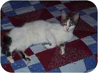 American Shorthair Cat for adoption in East Stroudsburg, Pennsylvania - Axel
