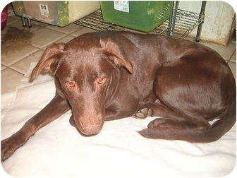 Labrador Retriever Mix Dog for adoption in North Jackson, Ohio - Cocoa