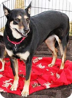 German Shepherd Dog/Australian Kelpie Mix Dog for adoption in Gilbert, Arizona - Tilly