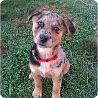 Adopt A Pet :: Bailey - Arlington, TX