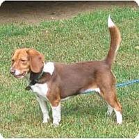 Adopt A Pet :: Amber - Blairstown, NJ