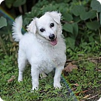 Adopt A Pet :: Yoshi - Port Washington, NY