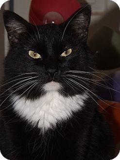 Domestic Mediumhair Cat for adoption in Mesa, Arizona - Jack