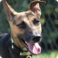 Adopt A Pet :: Chisai (Chee-Sigh) - Dripping Springs, TX