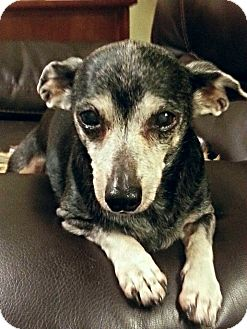 Chihuahua Dog for adoption in Columbus, Ohio - Blackie