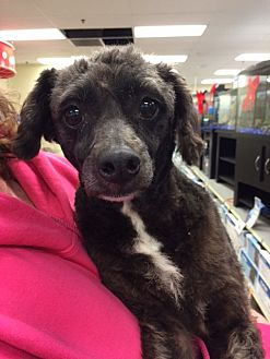 Poodle (Miniature) Mix Dog for adoption in Fresno, California - Rebel