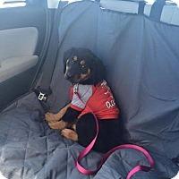Adopt A Pet :: Roxy - Rexford, NY