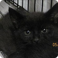 Domestic Shorthair Cat for adoption in Dallas, Georgia - 16-05-1480c Angelica