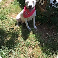 Adopt A Pet :: Dixie - White Settlement, TX