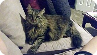 Maine Coon Cat for adoption in Bulverde, Texas - Nika
