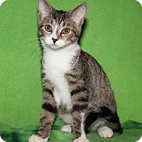 Adopt A Pet :: Alcide (Sookie's Kitten) - Marietta, OH