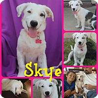 Adopt A Pet :: SKYE - Ft Worth, TX