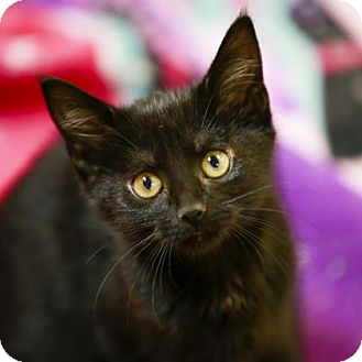 Domestic Shorthair Kitten for adoption in Kettering, Ohio - Cloudberry