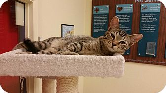 Domestic Shorthair Kitten for adoption in Phoenix, Arizona - Dakota