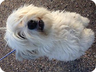 Silky Terrier Mix Dog for adoption in Globe, Arizona - A024382