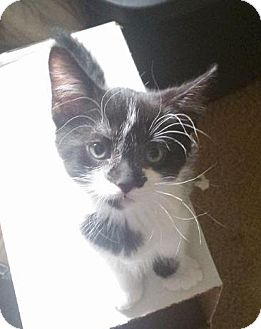 American Shorthair Kitten for adoption in Lorain, Ohio - Tux
