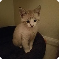 Adopt A Pet :: Shasta - Fort Collins, CO