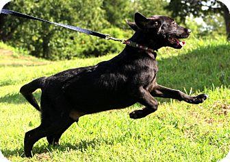 Labrador Retriever/Retriever (Unknown Type) Mix Dog for adoption in Glastonbury, Connecticut - Jack Daniels