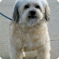 Maltese/Yorkie, Yorkshire Terrier Mix Dog for adoption in Santa Barbara, California - Fiona
