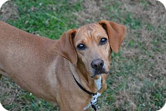 Redbone Coonhound/German Pinscher Mix Dog for adoption in Buffalo, New York - Ella