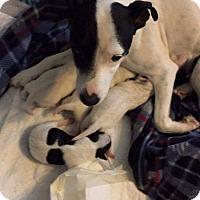 Adopt A Pet :: Annie - Houston, TX