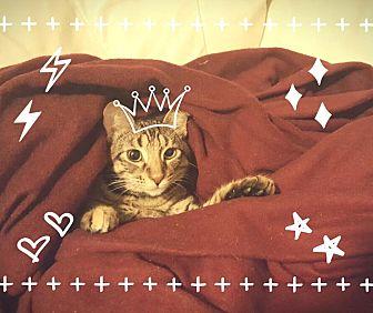 Domestic Mediumhair Kitten for adoption in Mansfield, Texas - Reina