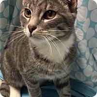 Adopt A Pet :: Elvis Purrsley - Gahanna, OH