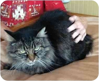 Domestic Longhair Cat for adoption in Delmont, Pennsylvania - Sammie