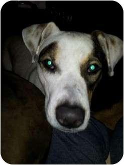 Boxer/Labrador Retriever Mix Dog for adoption in Kingwood, Texas - Molly