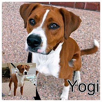 Boxer/Brittany Mix Dog for adoption in Garden City, Michigan - Yogi