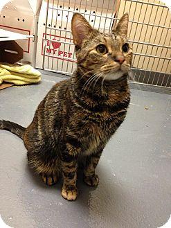 Domestic Shorthair Cat for adoption in Chicago, Illinois - Rustie