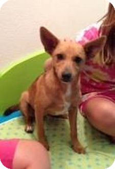 Chihuahua/Miniature Pinscher Mix Dog for adoption in Stilwell, Oklahoma - Pirate