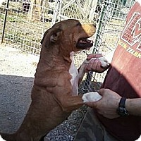 Boxer Mix Dog for adoption in Midlothian, Virginia - Captain